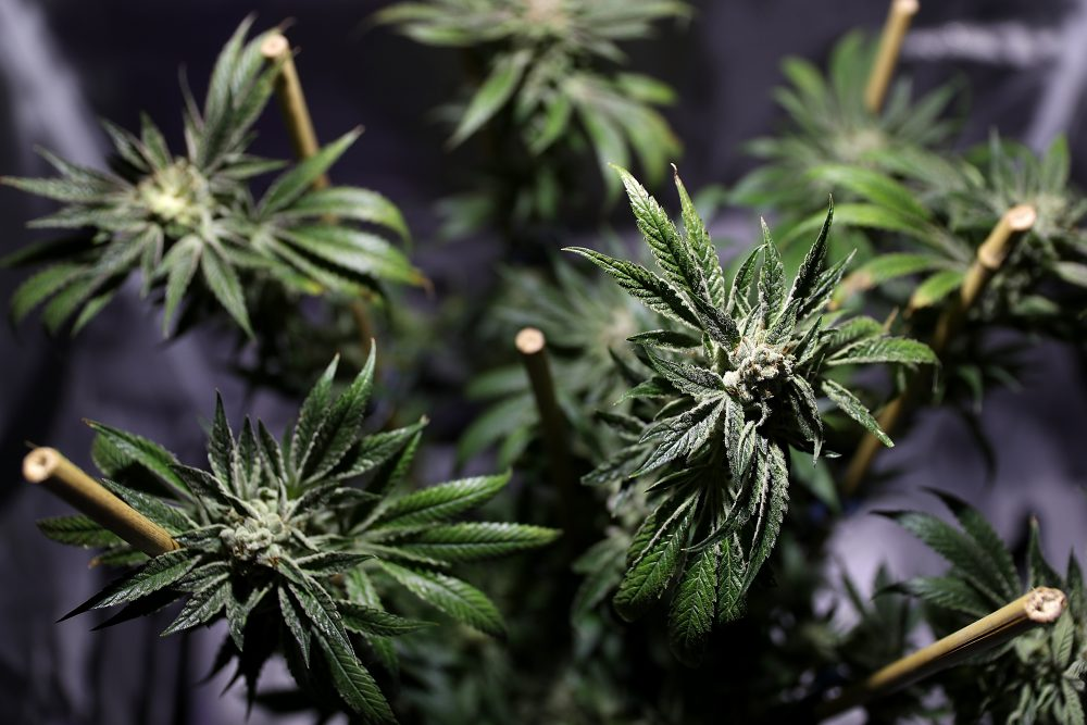 Wall Street Aims To Make Green From Legal Marijuana